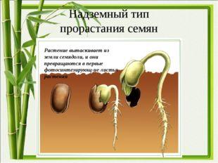 Надземный тип прорастания семян Растение вытаскивает из земли семядоли, и они