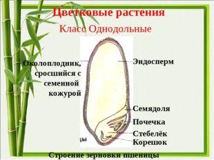Цветковые растения Класс Однодольные Околоплодник, сросшийся с семенной кожур