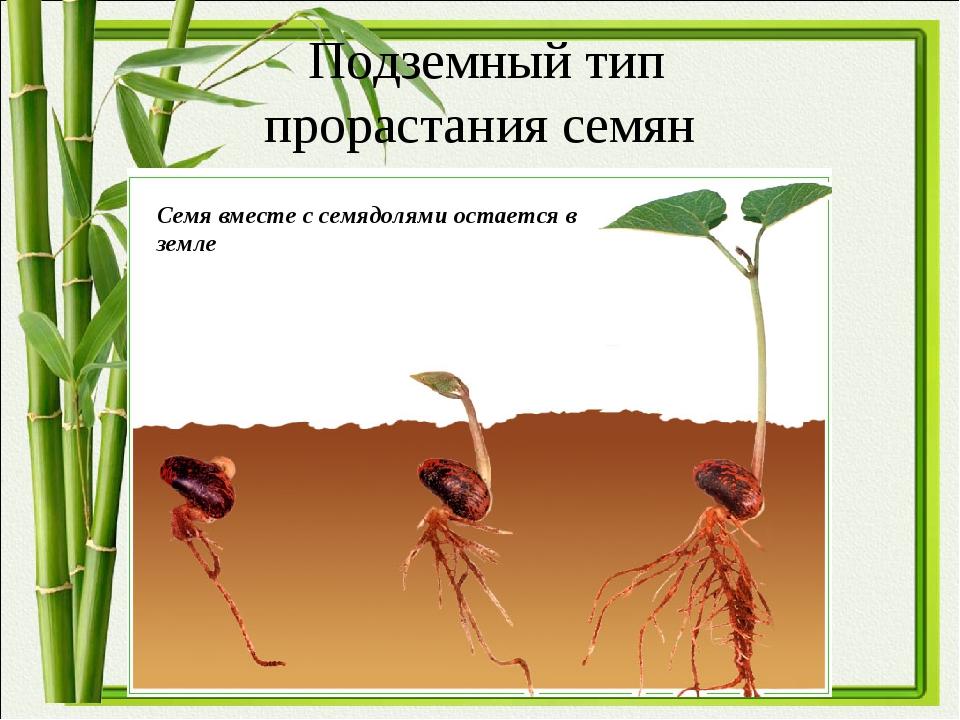 Подземный тип прорастания семян Семя вместе с семядолями остается в земле