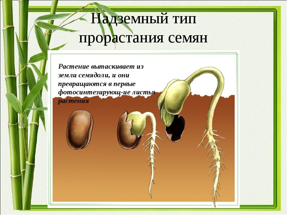 Надземный тип прорастания семян Растение вытаскивает из земли семядоли, и они...