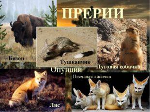 ПРЕРИИ Луговая собачка Лис Песчаная лисичка Опунции Тушканчик Бизон