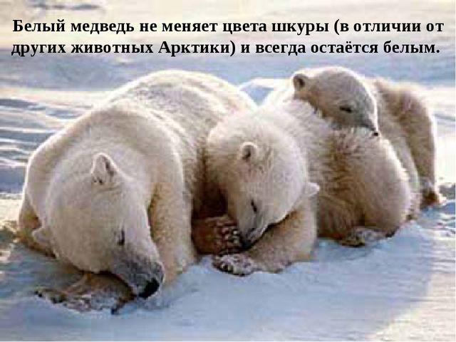 Белый медведь не меняет цвета шкуры (в отличии от других животных Арктики) и...