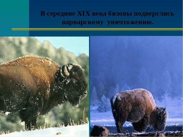 В середине XIX века бизоны подверглись варварскому уничтожению.