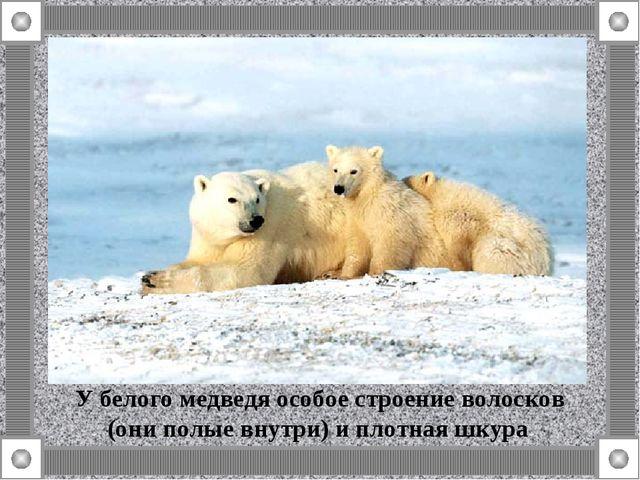 У белого медведя особое строение волосков (они полые внутри) и плотная шкура