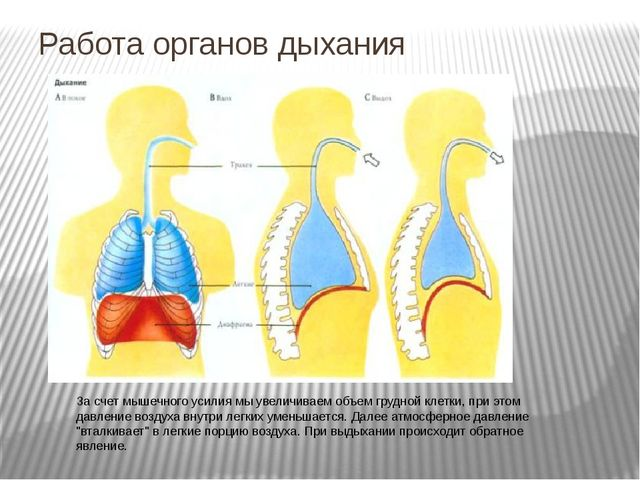 За счет мышечного усилия мы увеличиваем объем грудной клетки, при этом давлен...