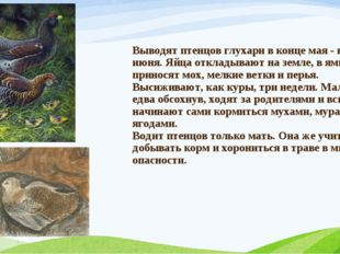 Выводят птенцов глухари в конце мая - начале июня. Яйца откладывают на земле,