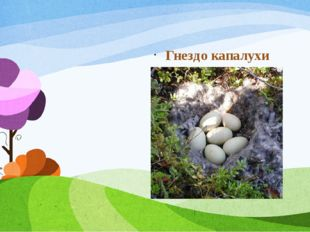 Гнездо капалухи