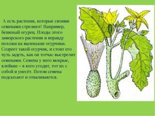 А есть растения, которые своими семенами стреляют! Например, бешеный огурец.