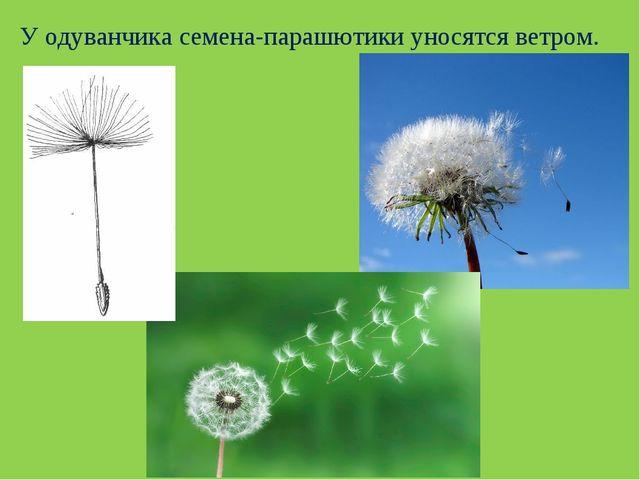 У одуванчика семена-парашютики уносятся ветром.