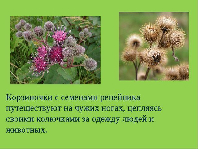 Корзиночки с семенами репейника путешествуют на чужих ногах, цепляясь своими...