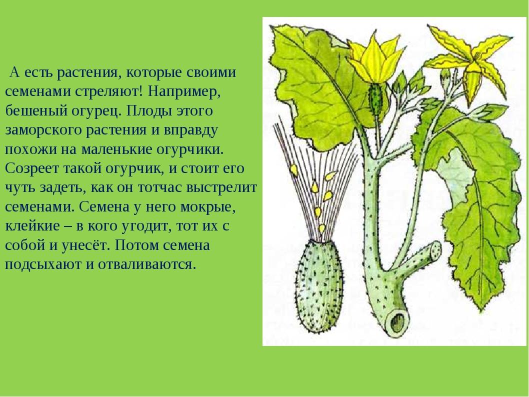 А есть растения, которые своими семенами стреляют! Например, бешеный огурец....