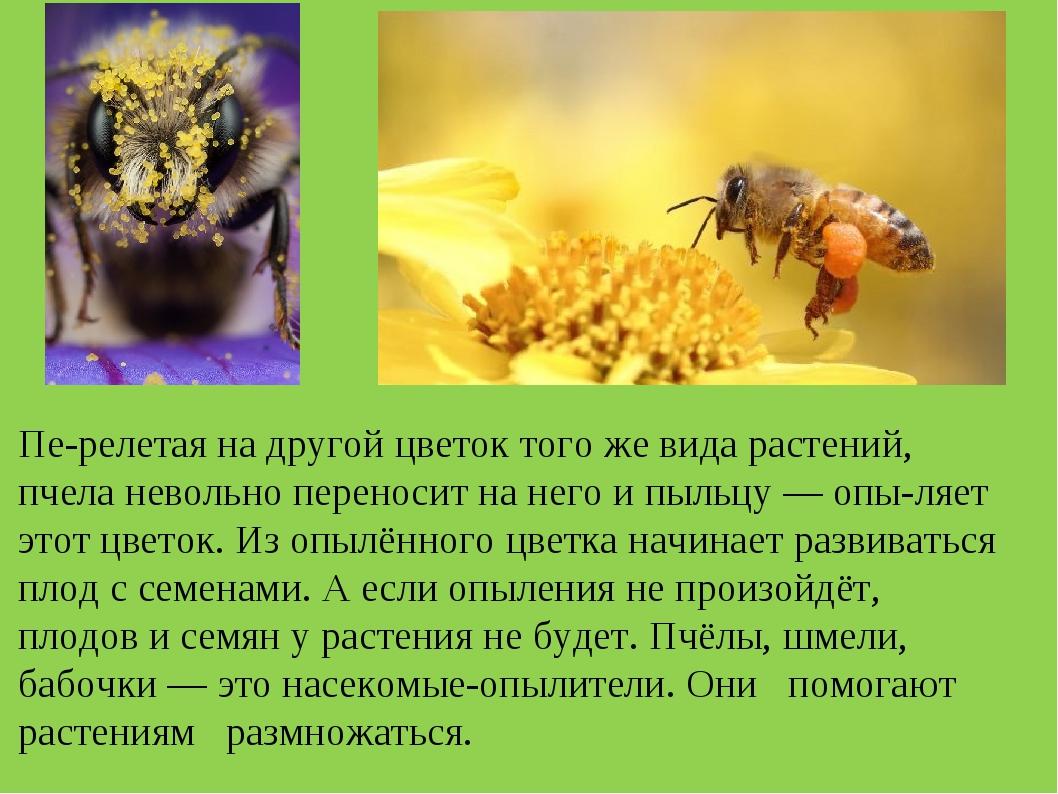Перелетая на другой цветок того же вида растений, пчела невольно переносит н...