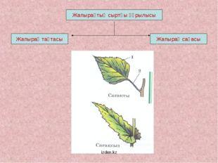 Жапырақтың сыртқы құрылысы Жапырақ тақтасы Жапырақ сағасы izden.kz izden.kz