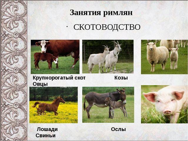 СКОТОВОДСТВО Занятия римлян Крупнорогатый скот Козы Овцы Лошади Ослы Свиньи