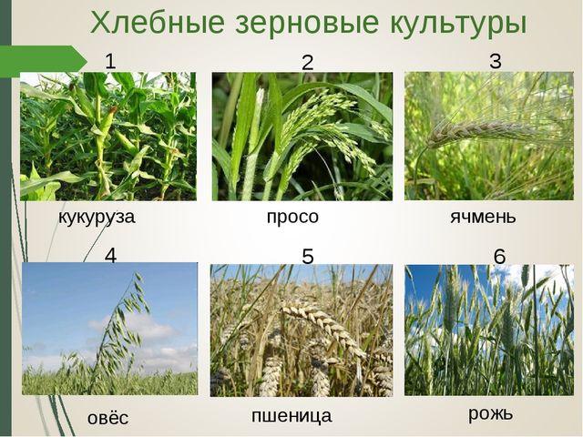кукуруза просо рожь ячмень овёс пшеница Хлебные зерновые культуры 1 2 3 4 5 6