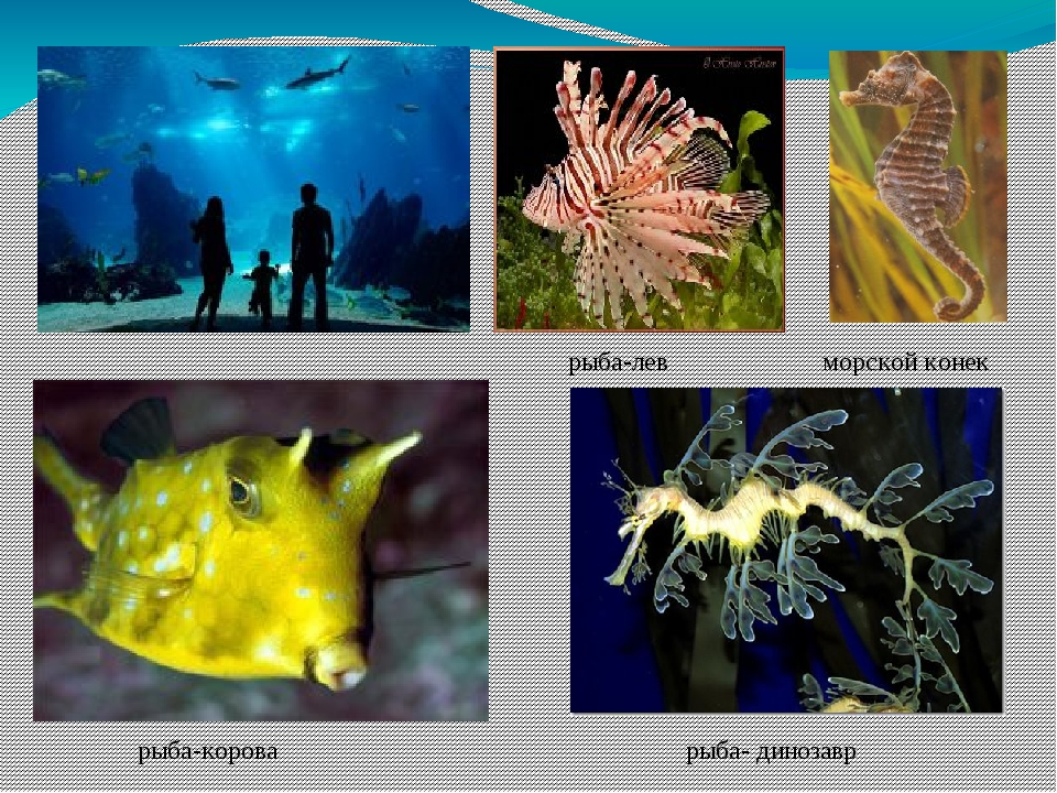 рыба-лев морской конек рыба-корова рыба- динозавр