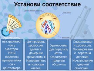 Установи соответствие Спирализация хромосом. Формирование веретена деления. И
