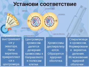 Установи соответствие Спирализация хромосом. Формирование вереетна деления. И