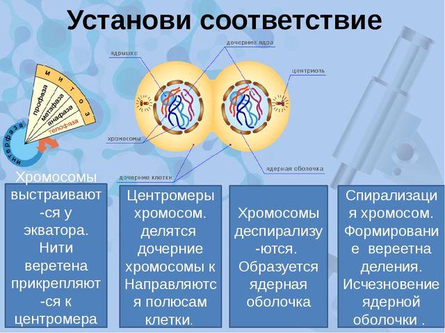 Установи соответствие Спирализация хромосом. Формирование вереетна деления. И...