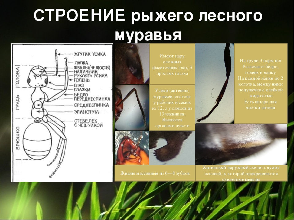 СТРОЕНИЕ рыжего лесного муравья Имеют пару сложных фасеточных глаз, 3 простых...