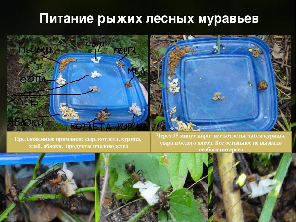 Питание рыжих лесных муравьев Предложенные приманки: сыр, котлета, курица, хл...