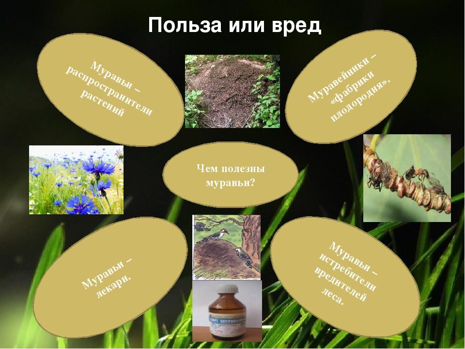 Чем полезны муравьи? Муравьи – лекари. Муравьи – истребители вредителей леса....