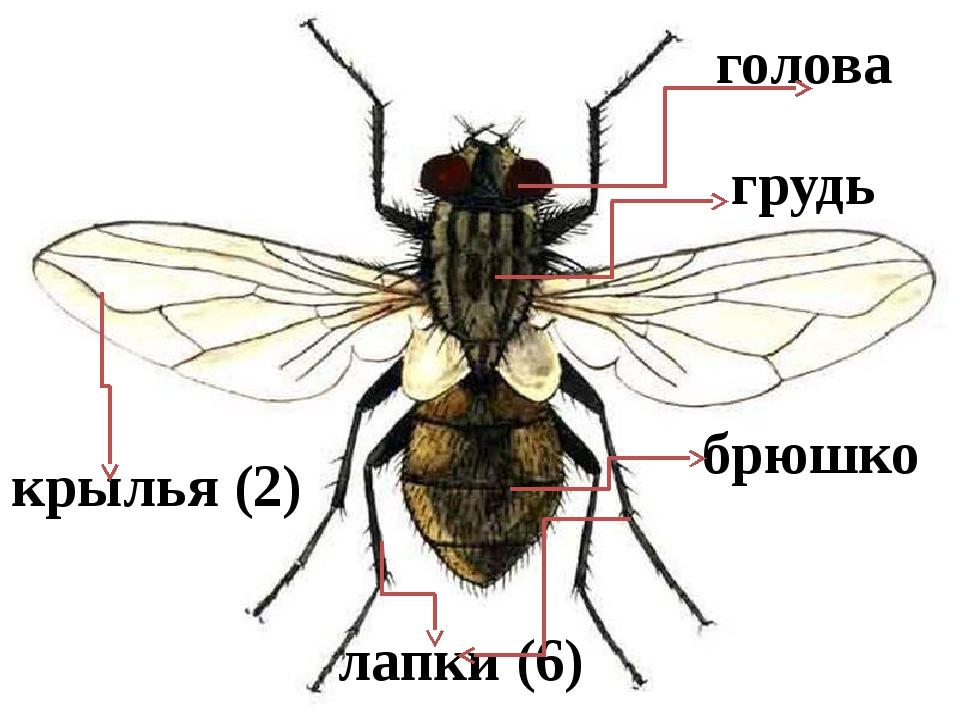 голова грудь брюшко лапки (6) крылья (2)