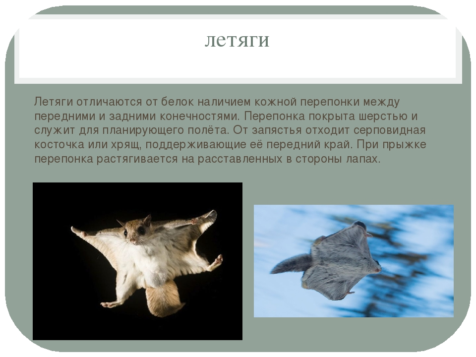 летяги Летяги отличаются от белок наличием кожной перепонки между передними и...