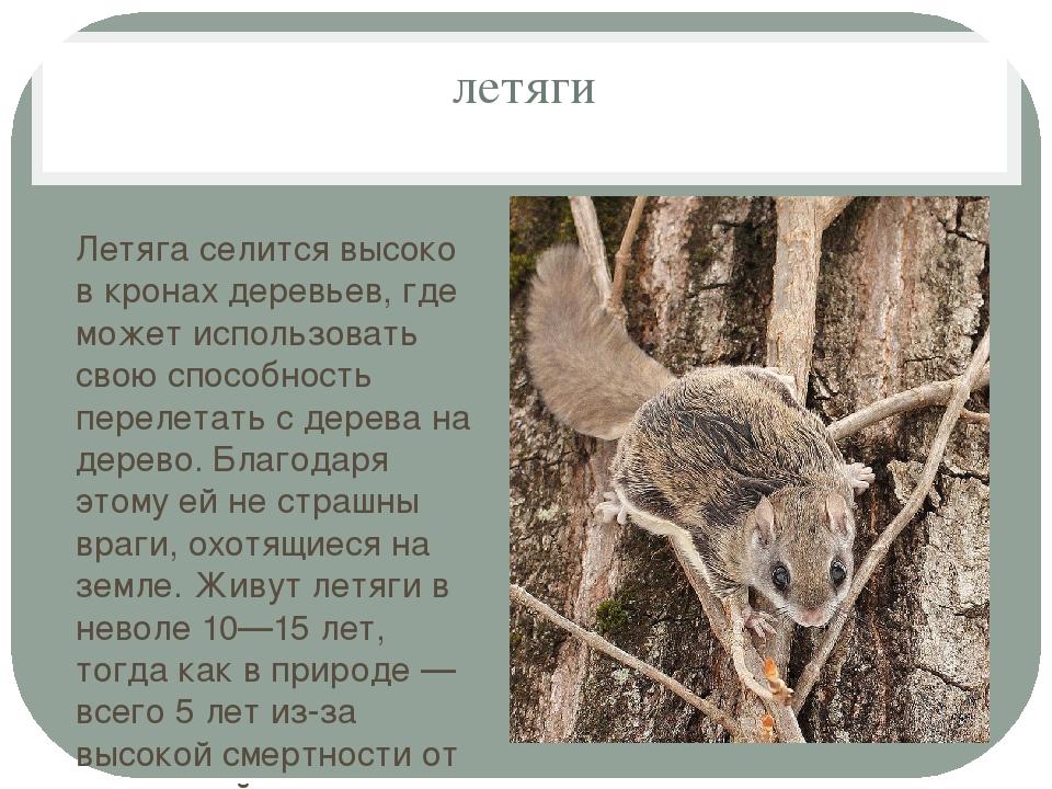 летяги Летяга селится высоко в кронах деревьев, где может использовать свою с...