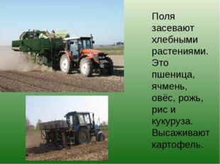 Поля засевают хлебными растениями. Это пшеница, ячмень, овёс, рожь, рис и кук