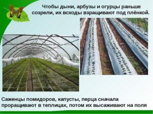 Чтобы дыни, арбузы и огурцы раньше созрели, их всходы взращивают под плёнкой.