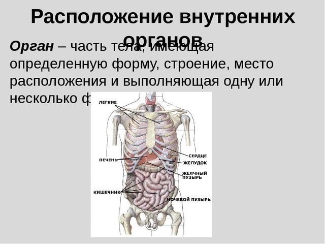 Расположение внутренних органов Орган – часть тела, имеющая определенную форм...