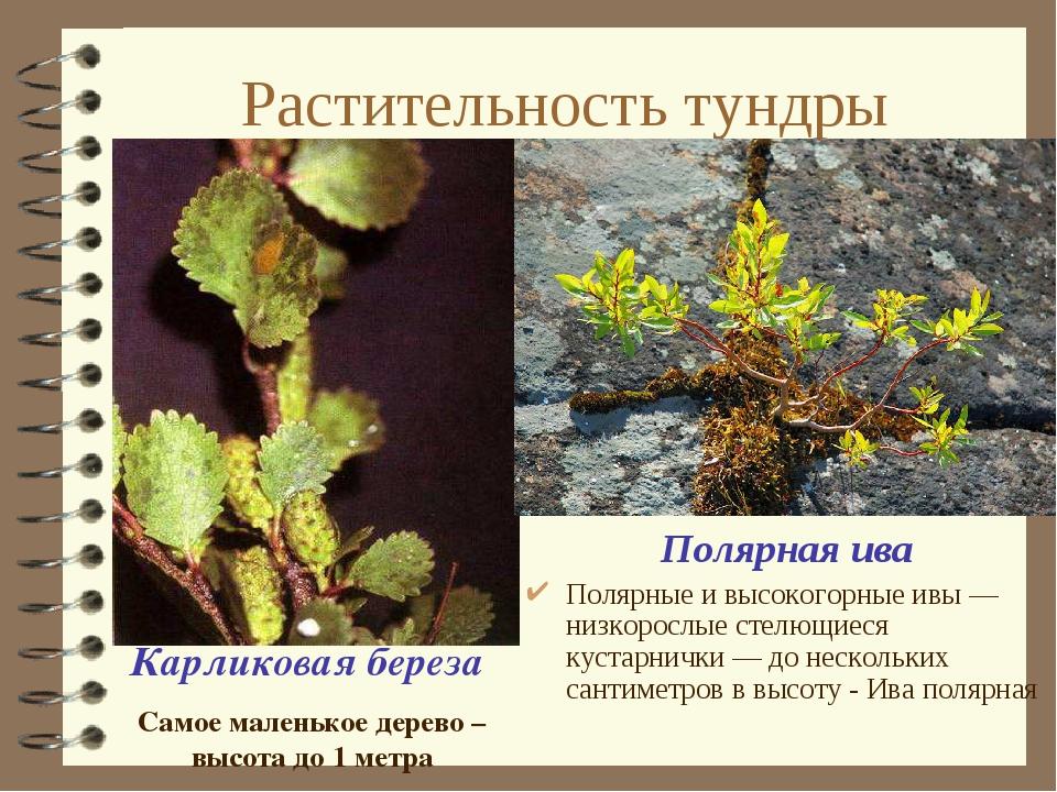 Почему в тундре грибы выше деревьев ответы