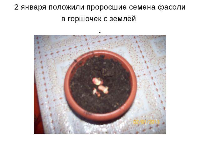2 января положили проросшие семена фасоли в горшочек с землёй .