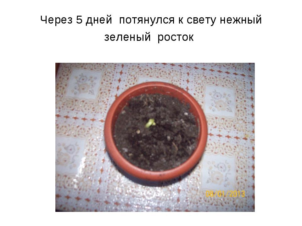Через 5 дней потянулся к свету нежный зеленый росток