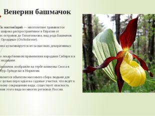 Венерин башмачок Башмачо́к настоя́щий—многолетнеетравянистоерастение, шир