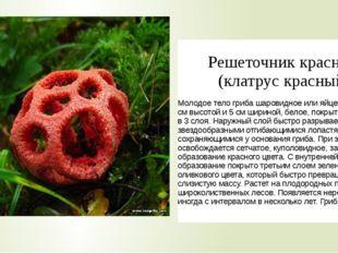 Решеточниккрасный (клатрускрасный) Молодое тело гриба шаровидное или яйцевид
