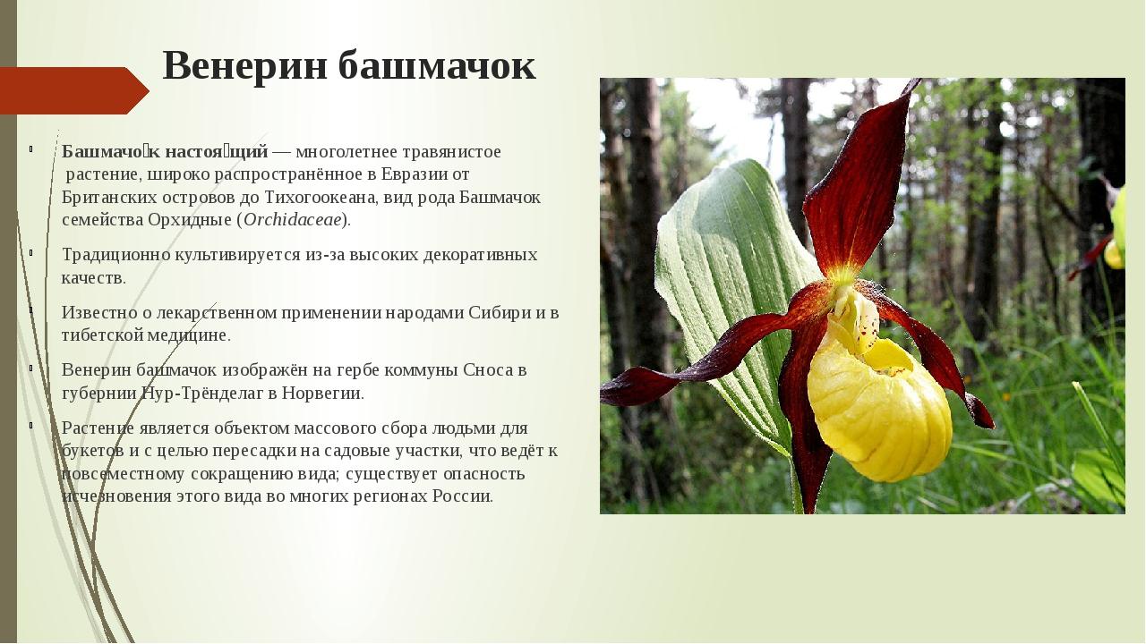 Венерин башмачок Башмачо́к настоя́щий—многолетнеетравянистоерастение, шир...