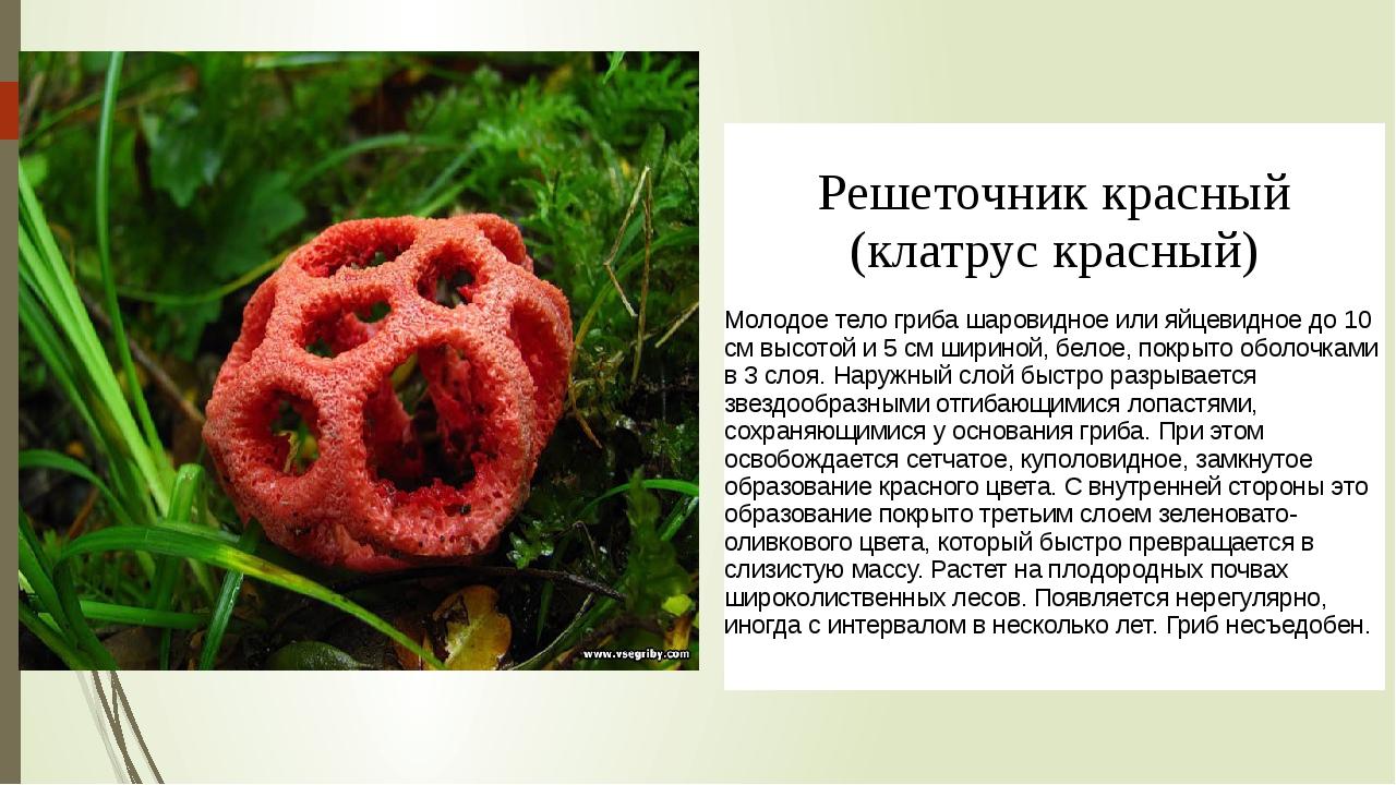 Решеточниккрасный (клатрускрасный) Молодое тело гриба шаровидное или яйцевид...