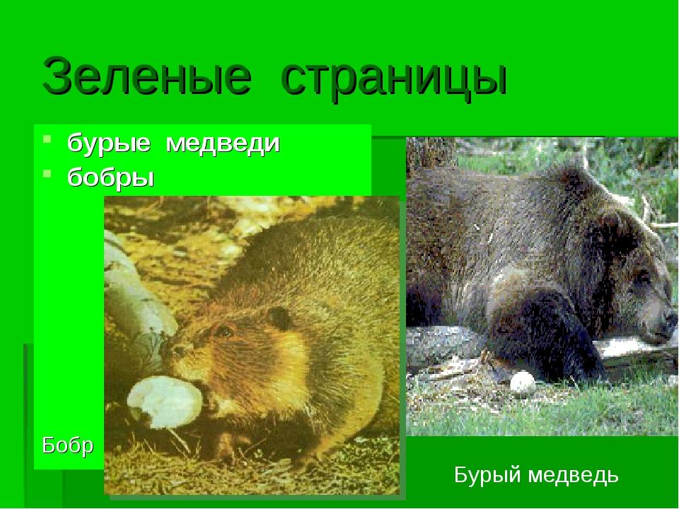 Зеленые страницы бурые медведи бобры Бобр Бурый медведь