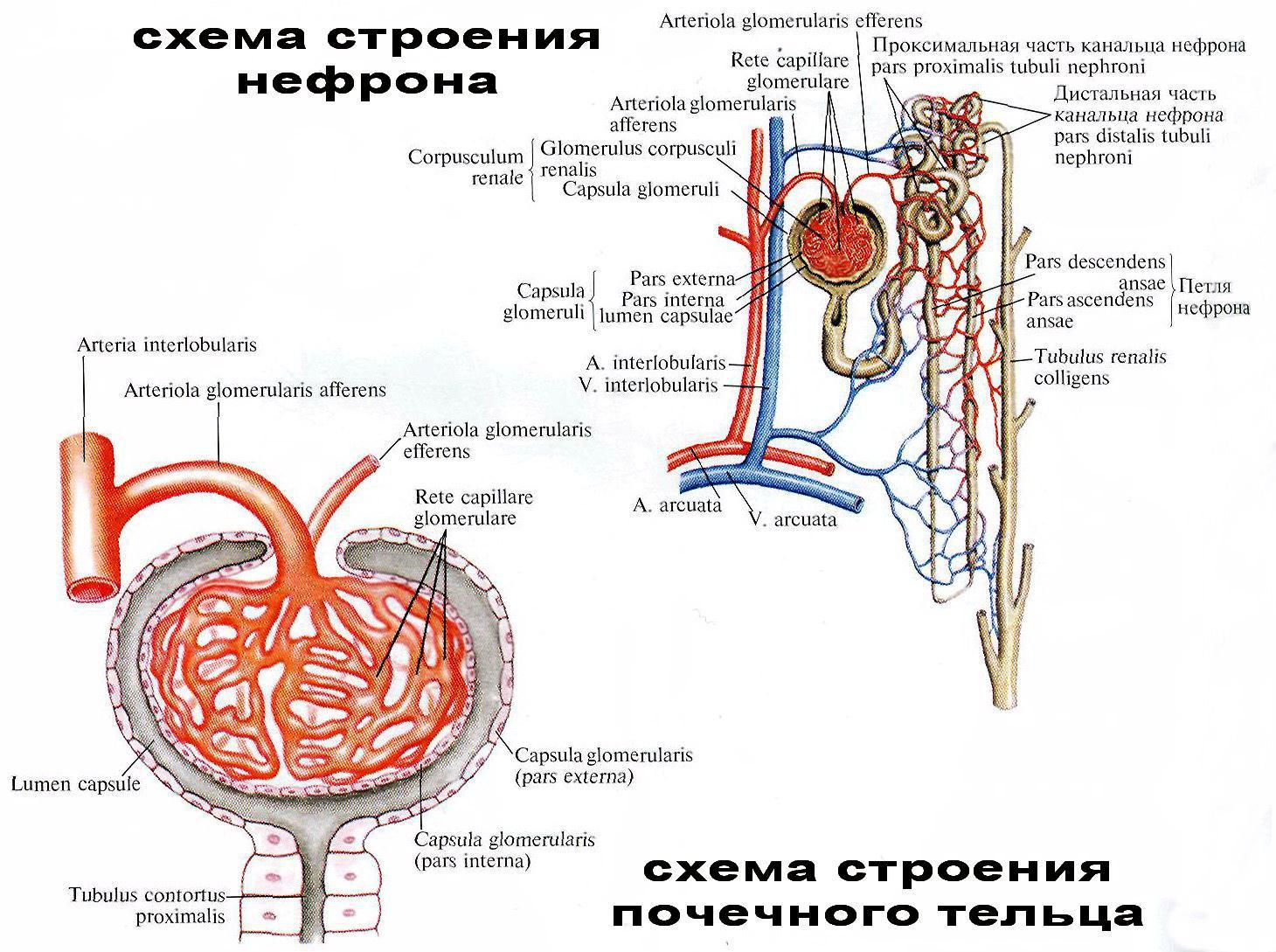 Схема мочевыделительных органов