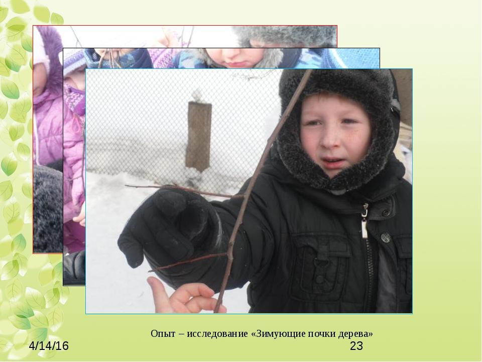 Опыт – исследование «Зимующие почки дерева»