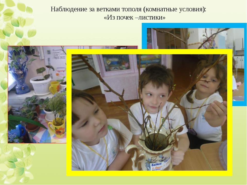Наблюдение за ветками тополя (комнатные условия): «Из почек –листики»