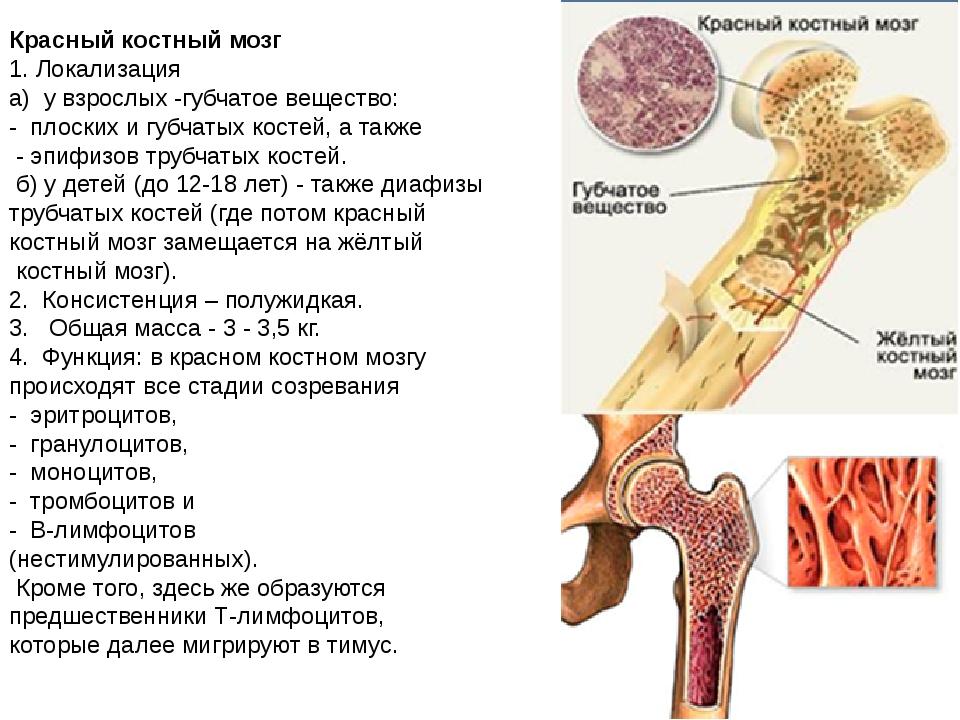 Красный костный мозг 1. Локализация а) у взрослых -губчатое вещество: - пл...