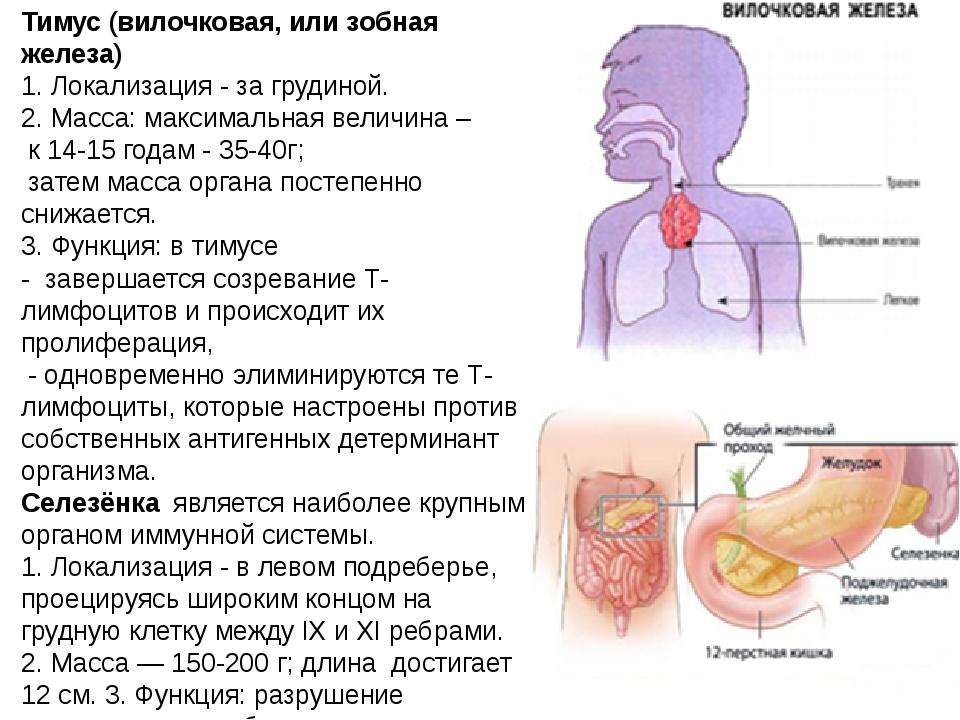 Тимус (вилочковая, или зобная железа) 1.Локализация-за грудиной. 2.Масса...