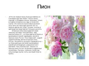 Пион В России первые пионы были доставлены из Голландии ещё при Петре I. Рас