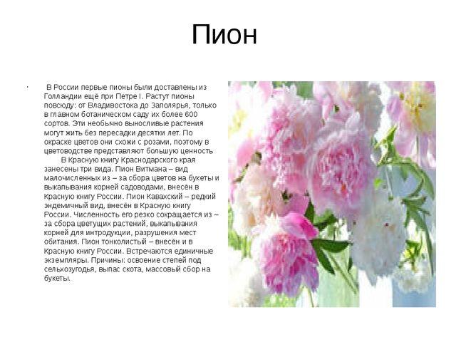 Пион В России первые пионы были доставлены из Голландии ещё при Петре I. Рас...