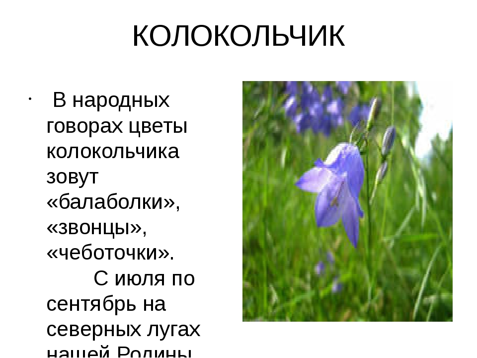 КОЛОКОЛЬЧИК В народных говорах цветы колокольчика зовут «балаболки», «звонцы...