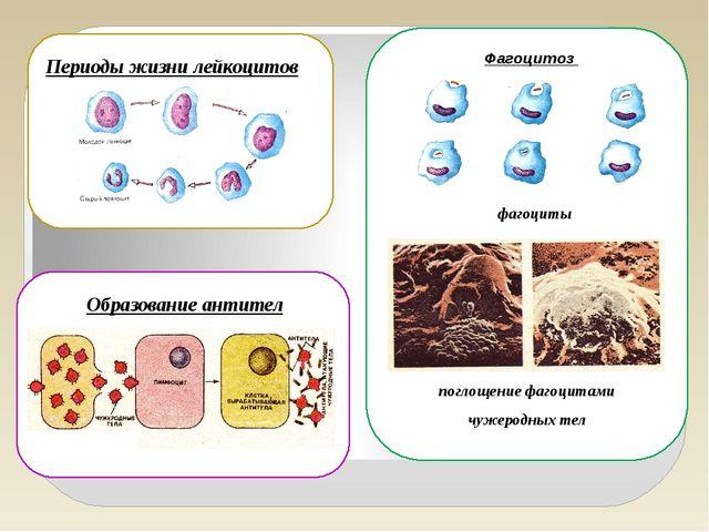 Периоды жизни лейкоцитов Фагоцитоз фагоциты поглощение фагоцитами чужеродных...