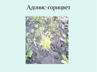 Адонис-горицвет